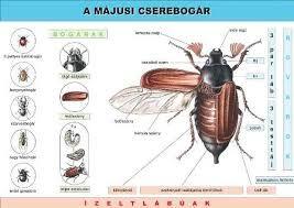 """Képtalálat a következőre: """"rovarok fejlődése teljes átalakulás képek"""""""