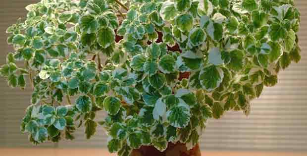 Amuleto Planta Millonaria
