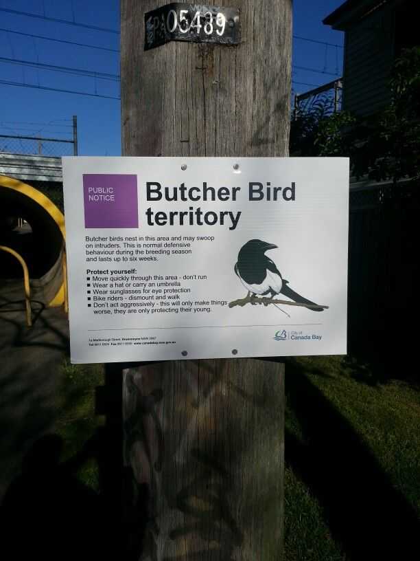 Magpies & butcher birds get very aggressive in the spring. Local councils put up signs like this.