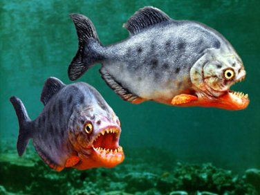 Fascinated about piranhas attacks? Check out http://www.worldofpiranhas.com