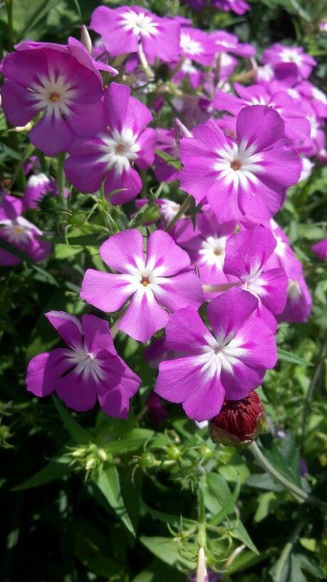 Flores púrpuras bicolor 2