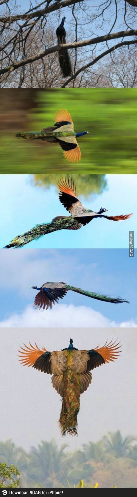 Best Everything Peacocks Images On Pinterest Peacocks - Flying peacocks look like mythical creatures