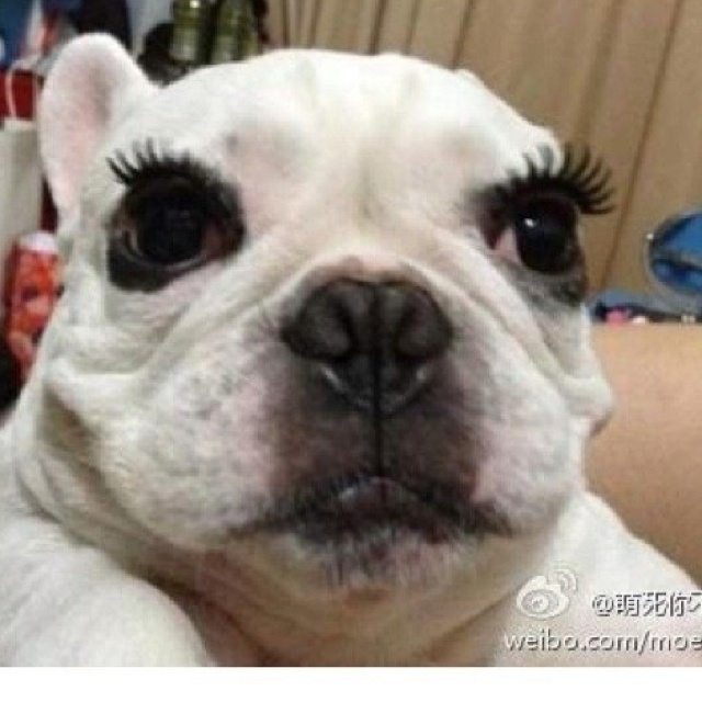 Can Dogs Have Eyelashes