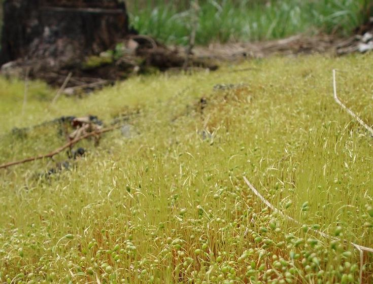 Funaria hygrometrica - zkrutek vláhojevný  (velmi plodný mech, rostoucí na holé zemi, na rašeliništích, na zdech i na střechách. Jednoduché lodyžky jsou nejvýše 3 cm vysoké)
