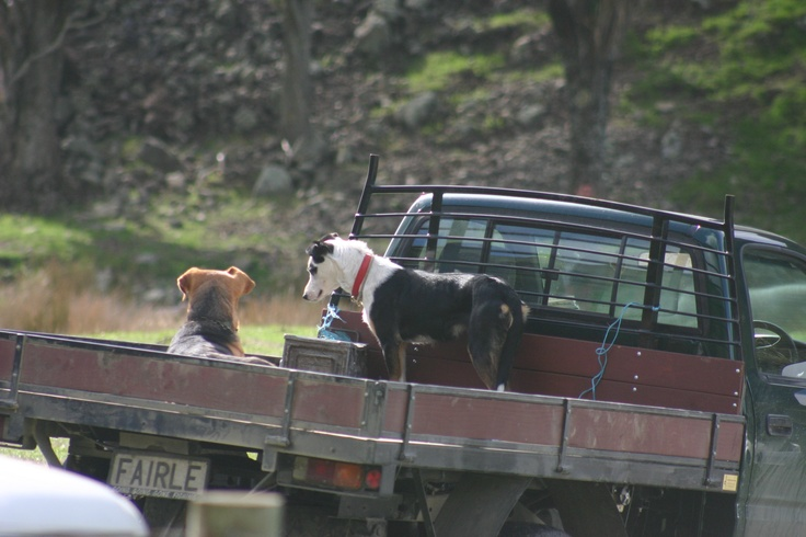 Dogs on the back of Utes are a common sight in the Wairarapa.