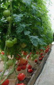 Hydroponic Tomato Growing Tips An Overview for Growing the Best Tomatoes You've Ever Had!