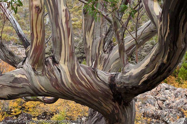Tasmania, Mt Field National Park. Tasmanian Snowgum (Eucalyptus coccifera) and autumn colour of Deciduous beech (Nothofagus gunnii), Lake Fenton