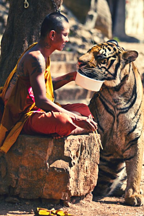 a tiger and his monk..