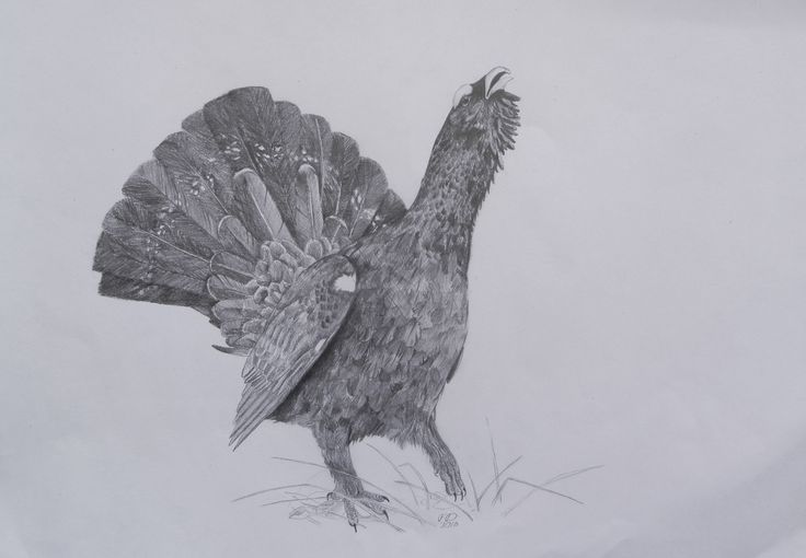 Western capercaillie - B/4 size, graphite pencil drawing / bird /