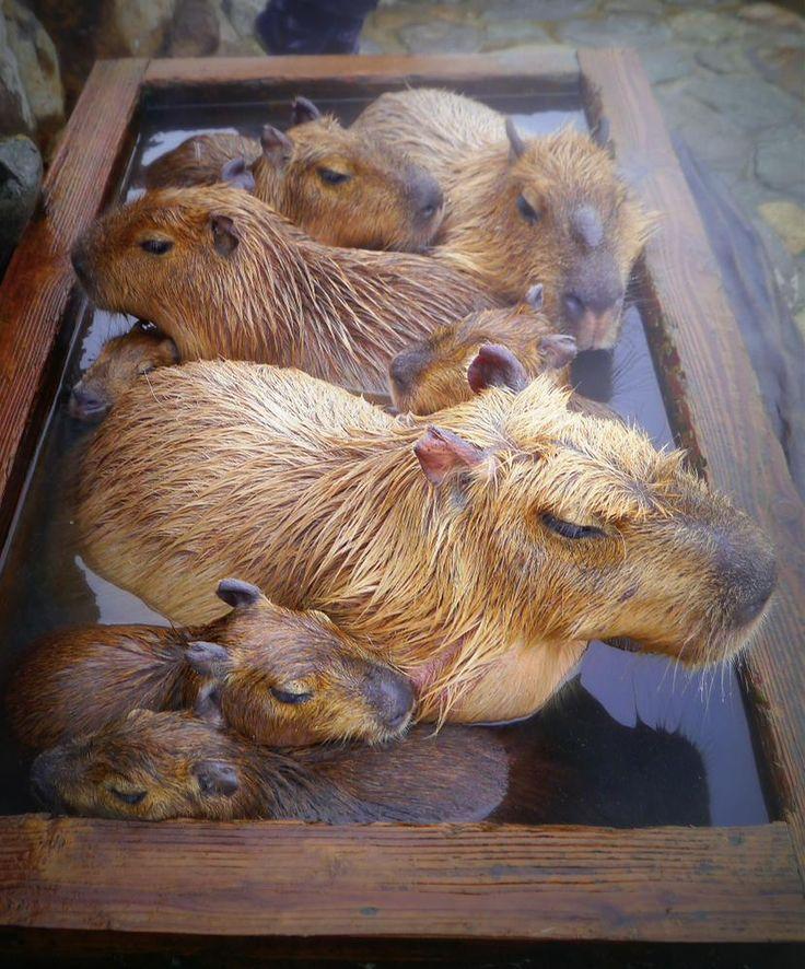 Capybaras spa