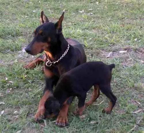 doberman marrones y negros - cachorros excelentes