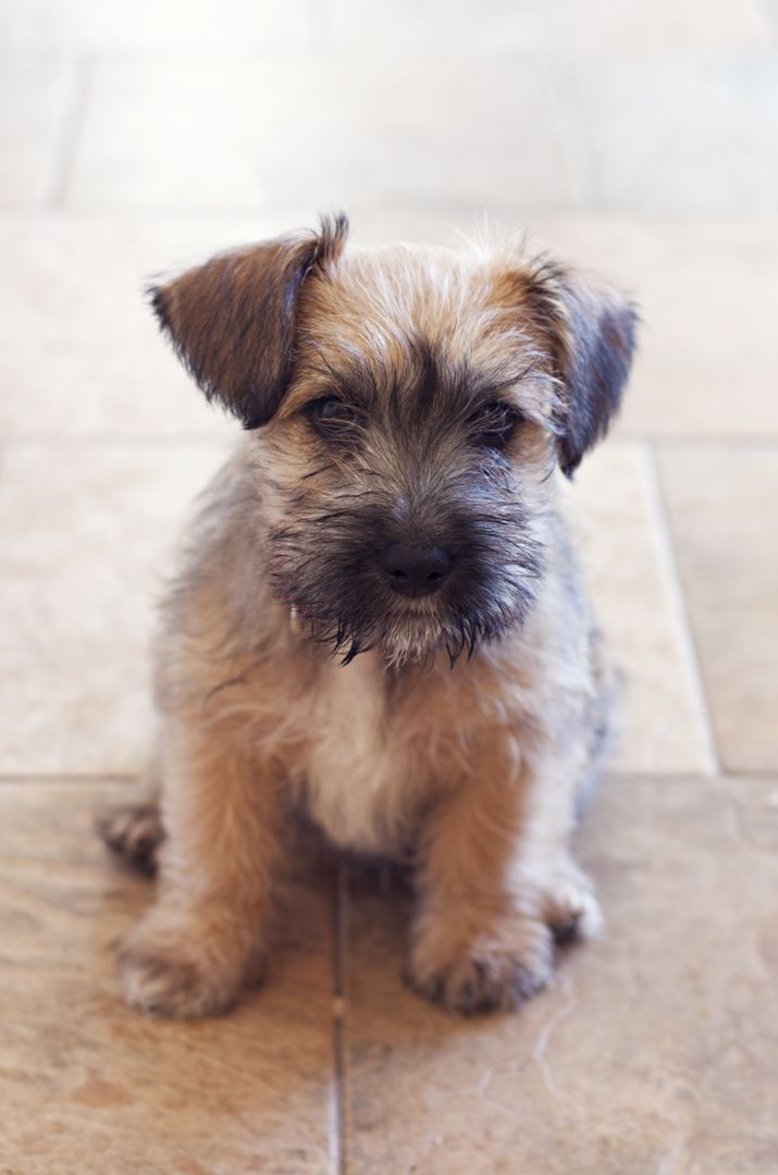 Cute Puppy!  Schnauzer and Yorkie mix   | City of Blackbirds Photography