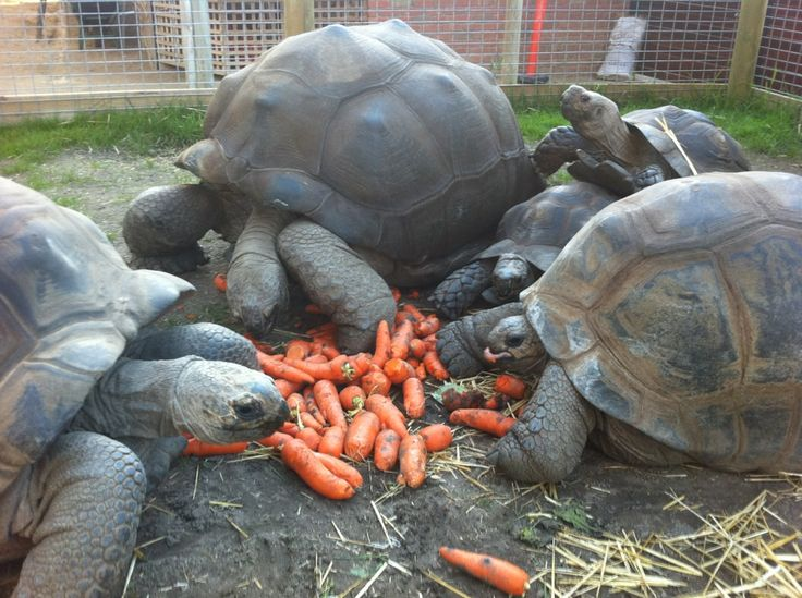 Via @Ballarat WildlifePark - The tortoises all having a snack!! ... Well nearly all, the little Burmese at the back is not having much. He he