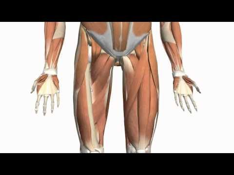 ▶ Muscles of the Thigh and Gluteal Region - Part 2 - Anatomy Tutorial - YouTube