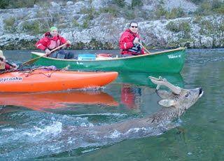 Un chevreuil et des canoës dans les Gorges de l'Ardèche (Source : DL)