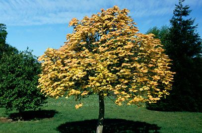 68 best carpinus betulus images on pinterest for Small garden trees rhs