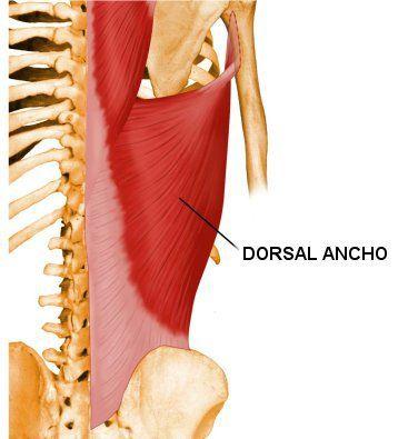 Dorsal ancho, este gran músculo tiene su origen en las últimas seis vértebras torácicas y en la parte posteriores de la fascia dorsolumbar, por medio del cual se sujeta a las espinas lumbares y las vértebras del hueso sacro, abarcando la región vertebral de T6 hasta L5. Este músculo también se inserta en la cresta ilíaca postero-superior, en el ligamento supraespinal y se dirige en varios fascículos en dirección al brazo.