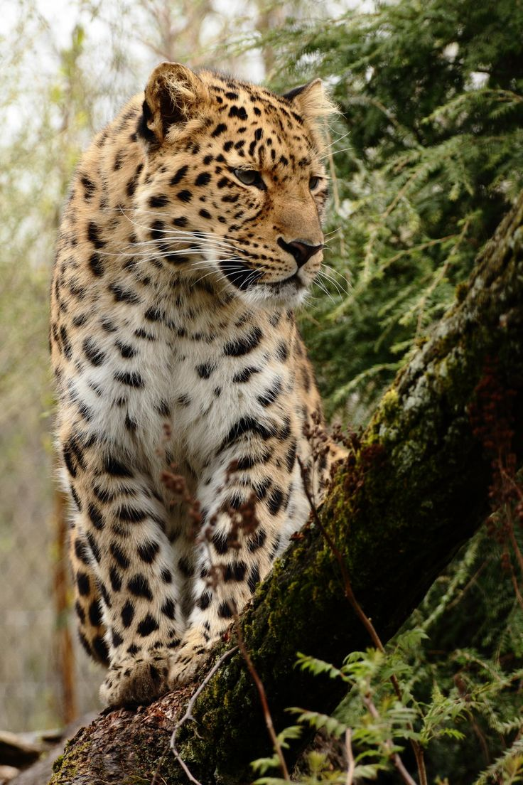 Amurleopard by Andre Promnitz*