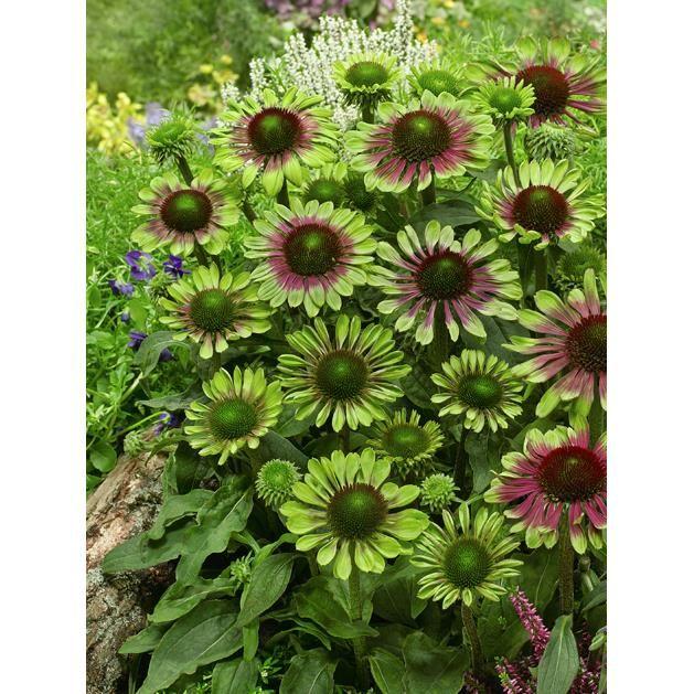 Perennial Green Twister Coneflower Shade Plants Echinacea Perennial Plants