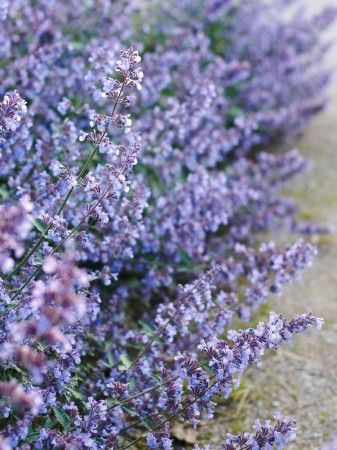 Kantnepeta, Nepeta × faassenii 'Walker's Low'