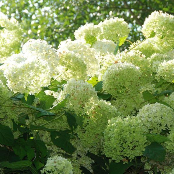 17 beste idee n over hortensia annabelle op pinterest tuin hagen en kleine tuin ontwerpen. Black Bedroom Furniture Sets. Home Design Ideas