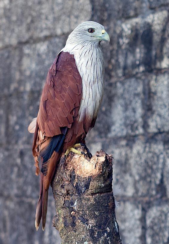 brahmin kite one of the most beautiful birds of prey