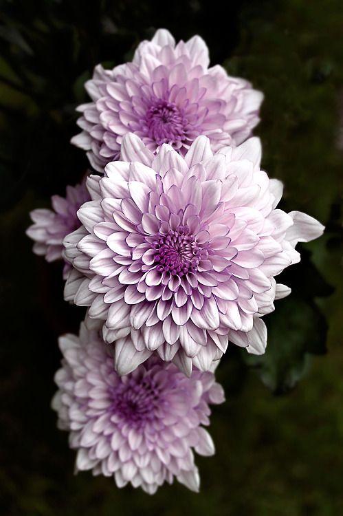 Lavender Dahlias Read More at: botgardening.blogspot.com