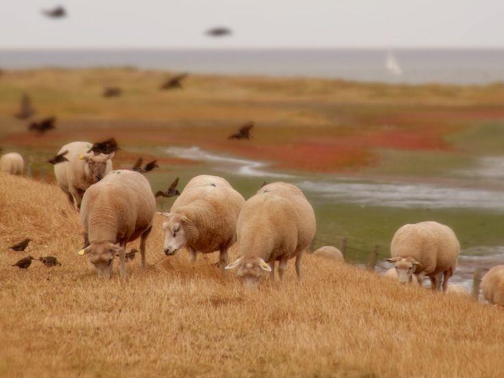 Texels lamsvlees - Texel - Waddengoud - Wereld Erfgoed Waddenzee