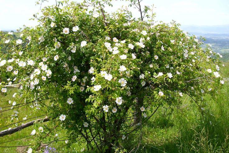 #Beautiful #rosehip bush