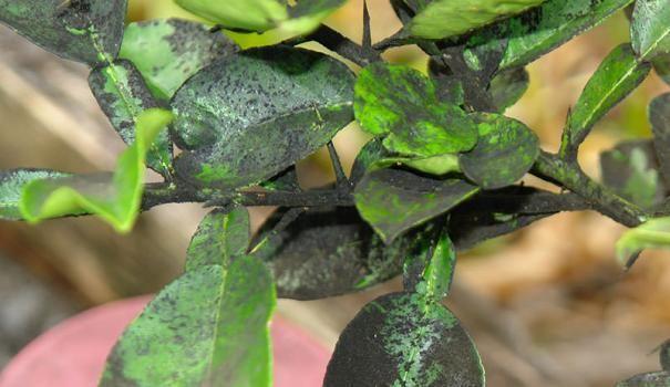 ¿Cómo deshacerse del recubrimiento negro en las hojas de las plantas