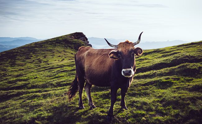 14 Cool Facts You Never Knew About Cows | Care2 Causes