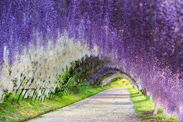 Wisteria Flower Tunnel, Japan.  The wisteria flower tunnels in Kawachi Fuji Gardens are beautiful structures to take a stroll through.