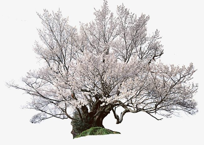 Japanese cherry tree, Cherry Tree, Japan, Tourism PNG Image
