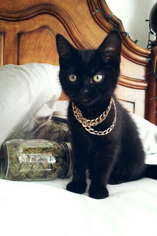 Trap Queen Kitty #cannabis #weed