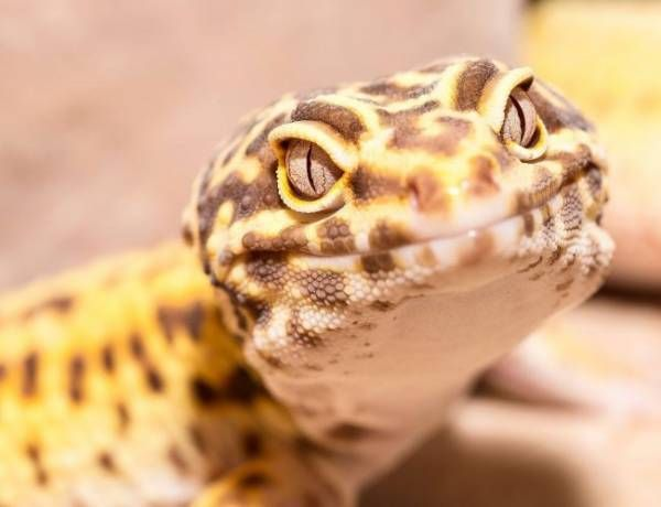 How To Get A Leopard Gecko To Open Its Mouth