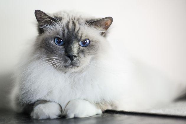 Muotokuva kissasta: Kissi, pyhä birma, poseraus sisällä luonnonvalossa. Lemmikkikuvauksen salat: kissojen valokuvaaminen - http://www.ifolor.fi/inspire_lemmikkikuvaus_kissat