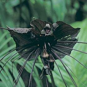Mysteries And Wonders of People, World and Nature: Weird Beauty  Tacca chantrierei  Black Bat Flower, Cat's whiskers or Devil flower