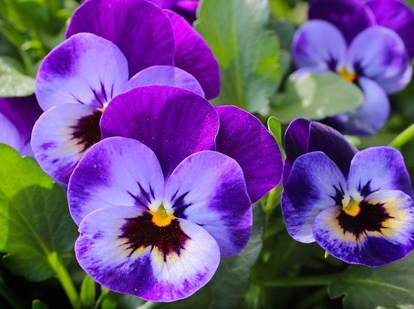 Quick Tips For Beginners On Growing Violet Flowers Pancy Violet Flower Pancy Pansies Flowers Flower Meanings Pansies