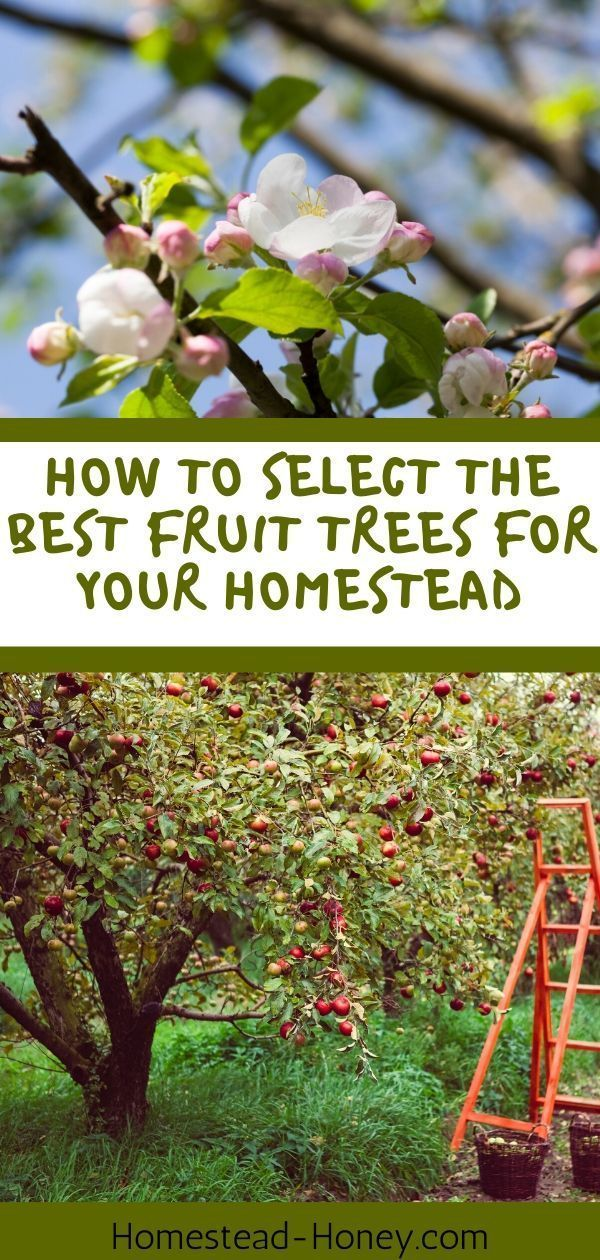 Selecting Fruit Trees For Your Homestead Homestead Honey Growing Fruit Trees Fruit Trees Best Fruits