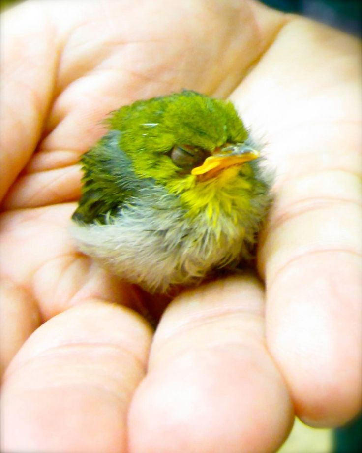 "The Japanese white-eye (Zosterops japonicus), also known as the mejiro (メジロ, 目白), is a small passerine bird in the white-eye family.   Baby Parrot from ""Best Guess Dept."" in Search Google for Image.  Tiny but mighty..."