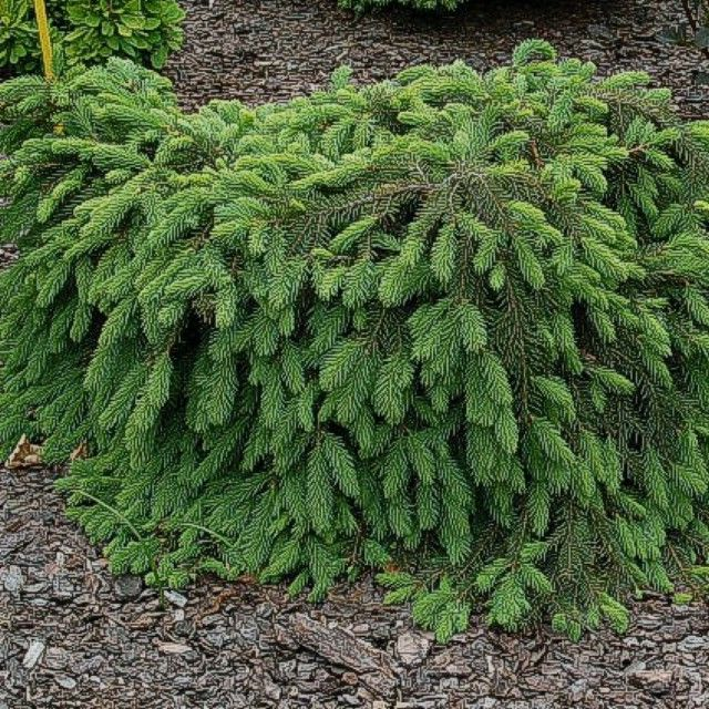 Picea_abies_Form_51001ad5ade18.jpg (640×640)