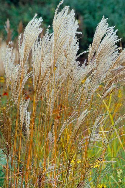 Miscanthus sinensis 'Ferner Osten' - Top ten plants of the Dutch wave - Telegraph