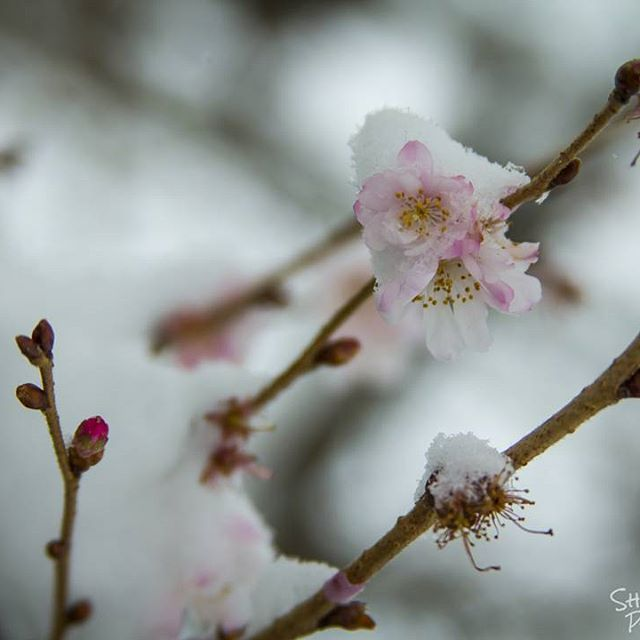 【shuttermagick】さんのInstagramをピンしています。 《A big winter storm just came through and dropped nearly nine inches of snow for all of us to enjoy!❄My neighbor's cherry trees seem to be confused... #snow #snow❄️ #snowfall #❄#snowday #winter #letitsnow #winterstorm #winterstormhelena #cold #freezing #snowphotography #noworktoday #cherryblossoms #winterblossom #cherrytree #canon #canont3i #teamcanon #canonphotography #canonforlife #photographyislife #canonismyweapon》