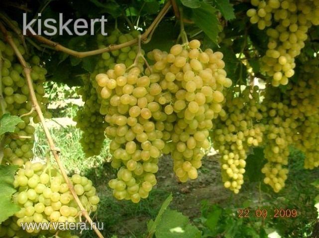 SULTANINA (SZULTÁN) (fehér mazsola, magvatlan)  Szabadgyökeres szőlőoltvány  (40-60 cm növények)