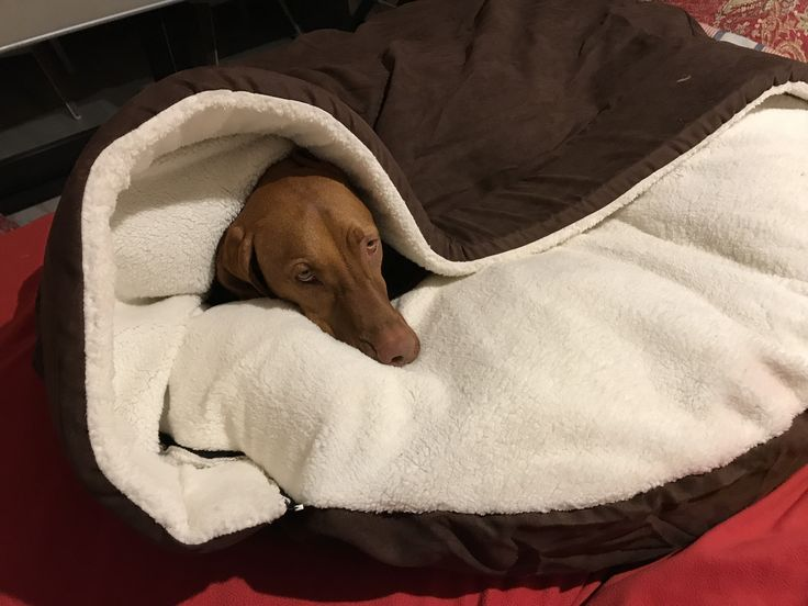 If you don't mind!  Hedges in one of his other beds.  A Vizsla needs to sleep too.