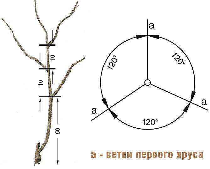 Формирующая обрезка плодовых деревьев на Supersadovnik.ru