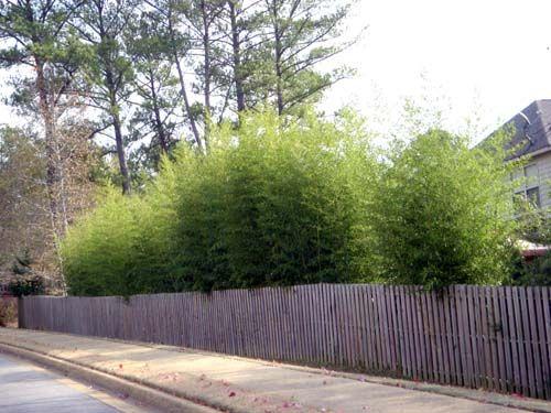 "Bamboo, phyllostachys nigra ""henon"" giant grey"