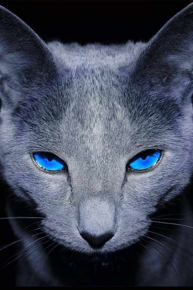Russian blue with blue eyes