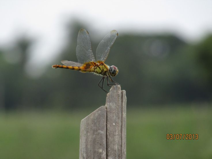 phoring..... a insect