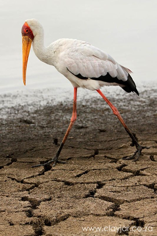 Yellow Billed Stork - Cape Town Photographers   Clay Jar Photography